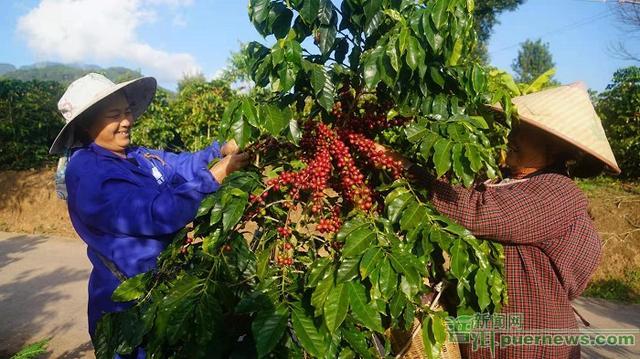 普洱景谷:咖啡开摘咖农增收