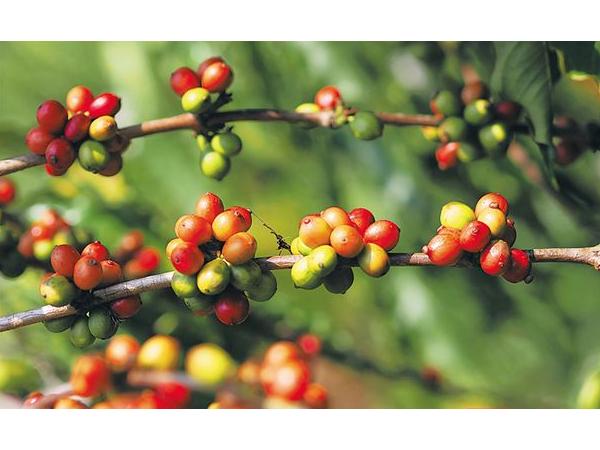 大丰咖啡产业集团 创新产品研发 从单一化走向多元化